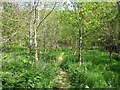 SX1769 : Woodland track in Loveney Woods by Kevin Wright
