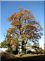 TG2826 : Ancient oak tree by Evelyn Simak