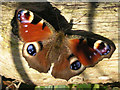 TQ1940 : Last butterfly of the year by Andy Potter