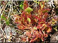 NF7928 : Venus Fly Trap by Loch Aineort by Frances Watts
