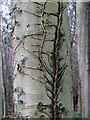 TG3130 : Ivy on beech - detail by Evelyn Simak