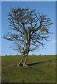 SO7639 : Tree takes human form by Pauline E