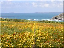 SW7761 : Pentire Point West, looking to Pentire Point East by Frances Watts