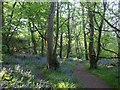 SW4123 : Bluebell woods, St Loy by Frances Watts