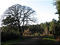 TG3130 : Sessile oak at footpath crossing by Evelyn Simak