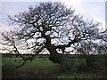 SJ4261 : An old oak tree, on a Moat by BrianPritchard