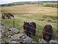 NY3631 : Fell Ponies by Michael Graham