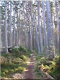 NH9718 : Abernethy Forest by jerry sharp