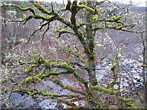 NH3716 : Tree with moss by jerry sharp