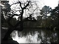 SZ0692 : Poole: Coy Pond and peculiar tree by Chris Downer