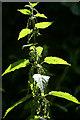 NT2274 : Nettle (Urtica dioica), Craigleith, Edinburgh by Mike Pennington