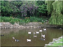 SN1645 : St Dogmael's duck pond by Rudi Winter