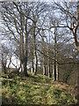 O1570 : Beech trees at Corballis by Kieran Campbell