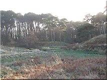 NT6378 : Woodland, Hedderwick by Richard Webb