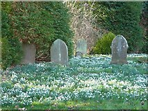 TR0149 : Snowdrops in the churchyard at Challock by pam fray