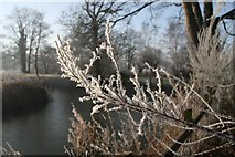 TL8063 : Frosted fronds by Bob Jones