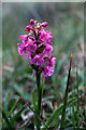 HP6410 : Heath Fragrant Orchid (Gymnadenia borealis), Keen of Hamar by Mike Pennington
