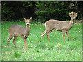 TL9499 : Roe deer alert by Evelyn Simak