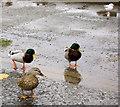SE2707 : Come on me ducks! by Steve  Fareham