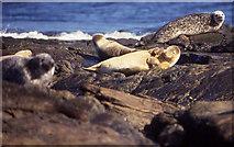 HY7651 : Common Seals (Phoca vitulina) on Strom Ness, North Ronaldsay by Mike Pennington