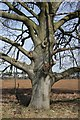TL7777 : Gnarled beech tree by Bob Jones