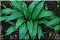 SH4637 : Craf y Geifr - Allium ursinum - Ramsons by Alan Fryer
