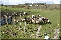 SN4853 : Sheep near Tryal Manor by Stephen McKay