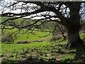 SX8879 : Tree by the bridleway by Derek Harper