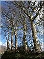 SX8979 : Beech trees, Beggar's Bush by Derek Harper
