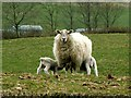 NS3866 : Bridge of Weir Spring Lambs with Ewe by lainey irvine