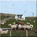NR2063 : Sheep at Machrie Farm by Gordon Hatton