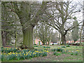 TG1122 : Daffodils and old trees by Evelyn Simak