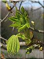 TG1122 : Horse chestnut  (Aesculus hippocastanum) by Evelyn Simak