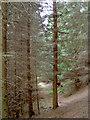 NY3408 : A path through Michael's Nook plantation by Ian Greig