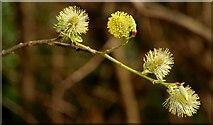 J4681 : Pussy willow, Crawfordsburn by Albert Bridge