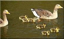 J4774 : Goose family, Kiltonga, Newtownards by Albert Bridge