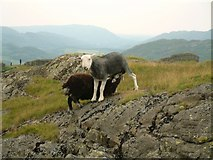 NY2101 : Large lamb, small ewe by Jeff Tomlinson