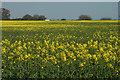 SJ5419 : Another field of Oilseed Rape by Row17