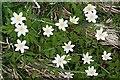 NJ3357 : Windflower (Anemone nemorosa) by Anne Burgess
