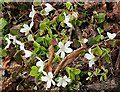 NJ3457 : Wood Sorrel (Oxalis acetosella) by Anne Burgess