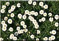 NJ0358 : Daisy (Bellis perennis) by Anne Burgess