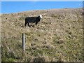 G8919 : Cow on hillside in the Arigna valley by Oliver Dixon