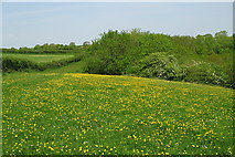 ST7772 : Buttercups at the top of the valley by Sharon Loxton