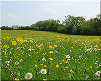 ST7772 : Dandelion Clocks and Buttercups by Sharon Loxton