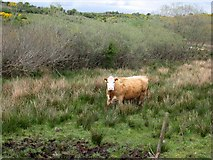 G9007 : Cow at Doogarry by Oliver Dixon