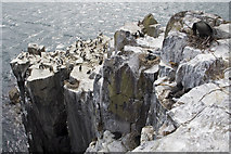 NU2135 : Sea cliffs on Inner Farne by Phil Champion