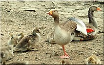 J4774 : Goose family, Kiltonga, Newtownards (2) by Albert Bridge