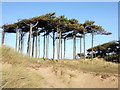 SD2708 : Pine trees on the dunes by Bryan Pready