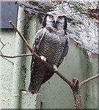 TQ2883 : Hawk Owl at London Zoo by David Hawgood