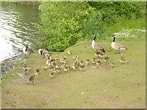 SJ8092 : Geese by Sale Water Park by Paul Lockett
